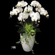 7株高瓷大白花