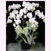 八株白色典雅蘭花盆
