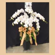 七株白色典雅蘭花盆