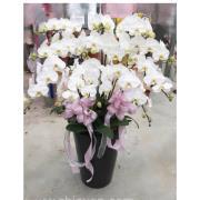 十二株白色典雅蘭花盆