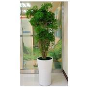 富貴樹綠葉盆栽